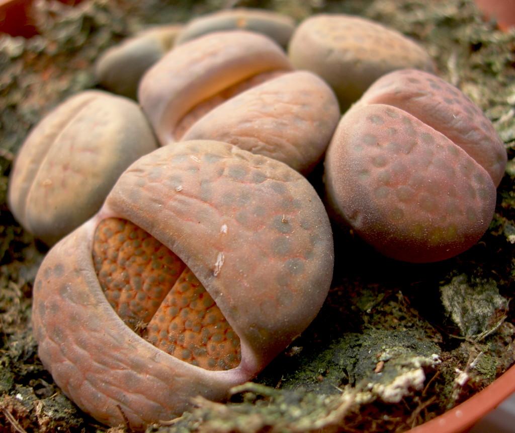 Viveros Vangarden Cactus piedra