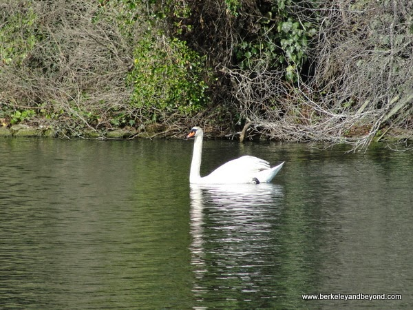swan in lagoon at Palace of Fine Arts in San Francisco