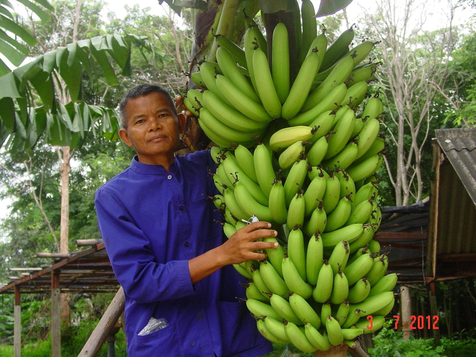 หีเด็ก10ขวบ ครู หรือ คุรุ ผู้สอนต้องตั้งตนให้สมควรก่อน ทำได้ก่อนจึงสอนเด็ก ภาพผลผลิตกล้วยหอม ที่ครูได้ทดลองปลูกให้เด็กได้ดูเป็นตัวอย่าง เพื่อเป็นสื่อการสอน