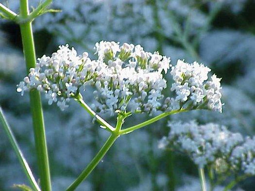 Valeriana, un potente tranquilizante natural