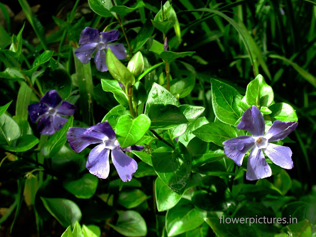 indian purple flowers