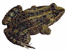 Rã-Comum (Leptodactylus ocellatus)