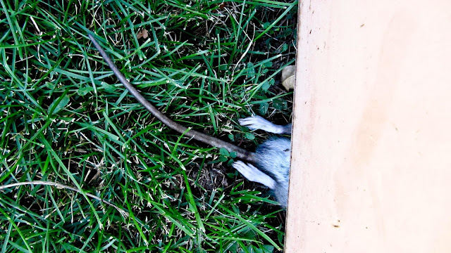 A dead rat half way under a dumpster at a baseball park in Golden, Colorado.