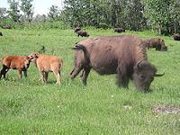 Bo rung bison