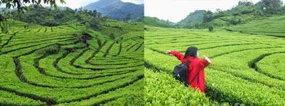 Perkebunan teh ranca bali ciwidey, tempat wisata alam di bandung