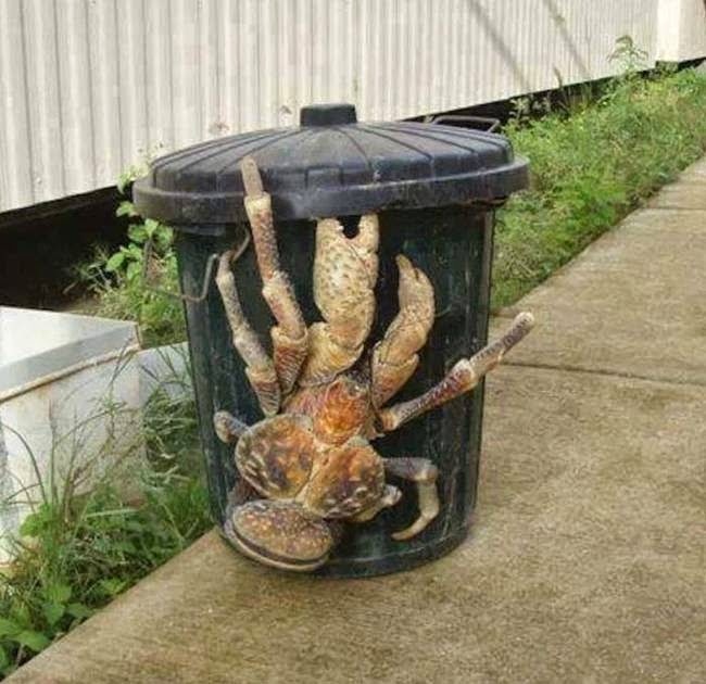The robber crab  creationcom