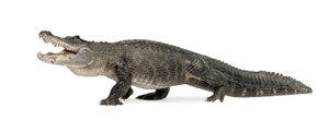 gambar-aligator-dan-buaya.jpg