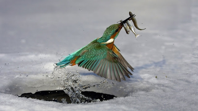 Kingfisher Fishing HD Wallpaper
