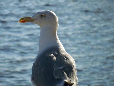 Чайка (баклан) встречается вокруг Hotel Istra Rovinj 4* на острове Св. Андрея в большом количестве | Seagull of Hotel Istra Rovinj 4* on Crveni otok