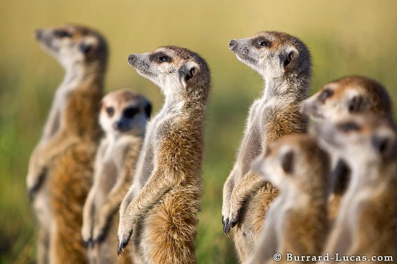 familia de suricatas paradas en dos patas