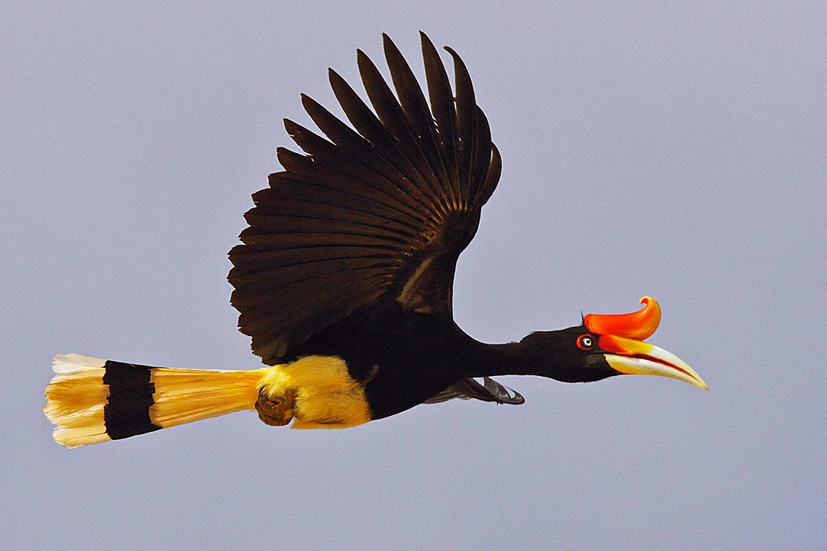 animals world beautiful images of rhinocreos hornbill