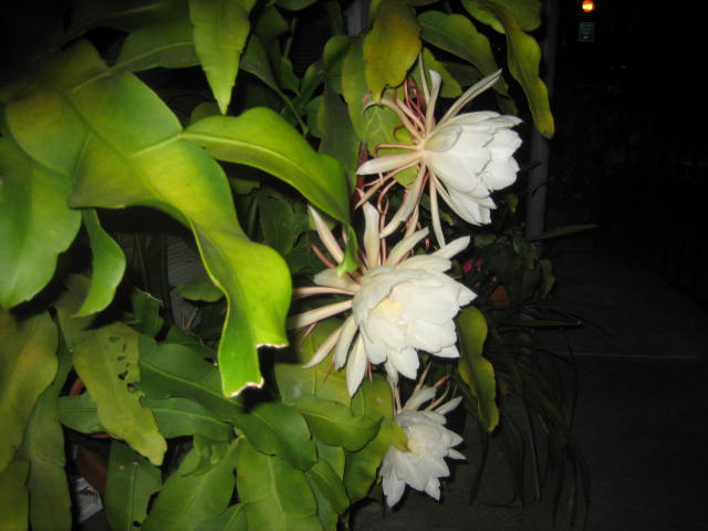 Flowers for flower lovers night flowers wallpapers for A flower that only blooms at night