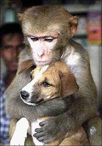 monyet anjing