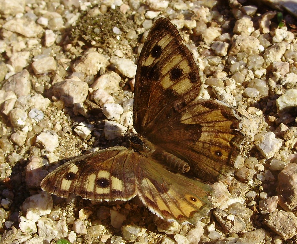 Volvoreta macho de Hipparchia semele