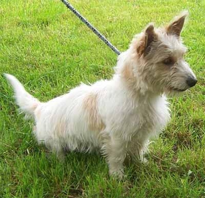 Peschiera borromeo (mi): trovato cagnolino meticcio maschio
