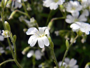 Cerastium Apuanum (Peverina delle Apuane)