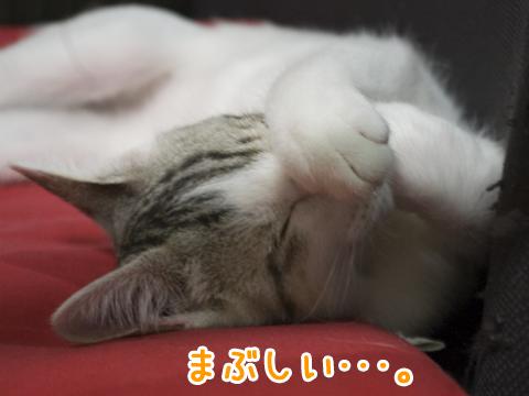 まぶしそうに眠る子猫