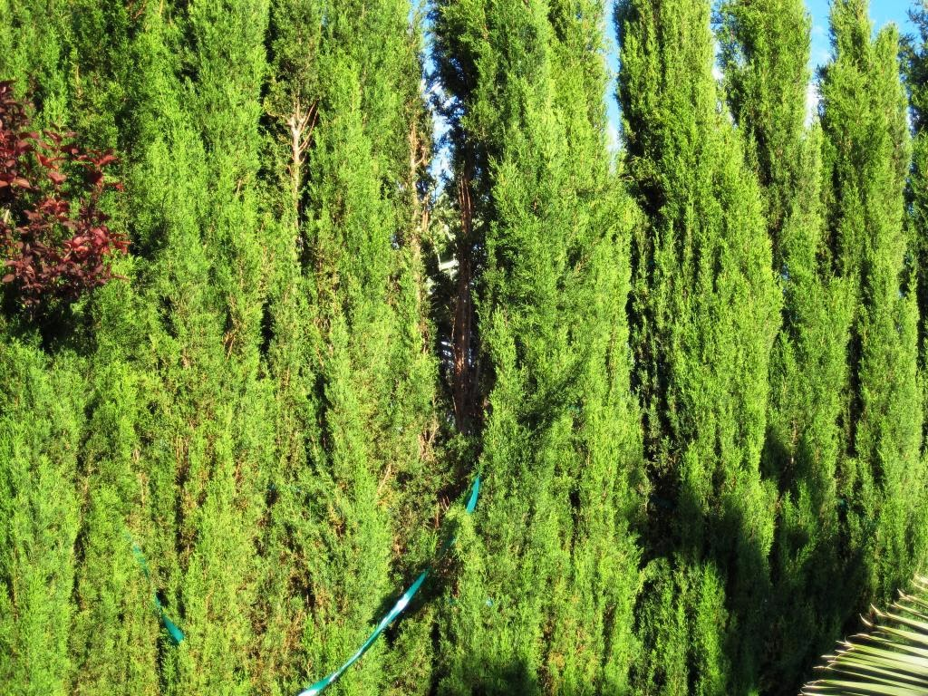 how to grow italian cypress from cuttings