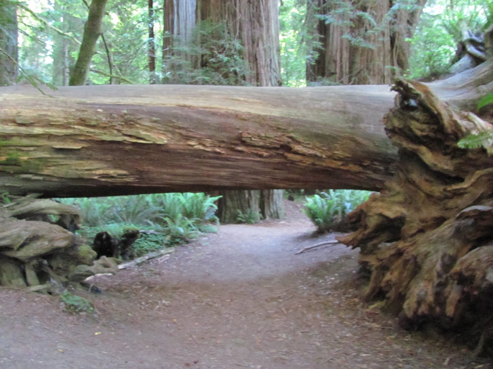 A fallen tree partially covers the path at Jedediah Smith State Park, California
