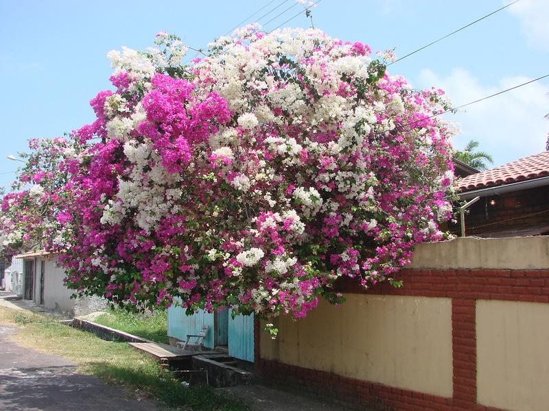 Generalmente se piensa en la Bougainvillea como una planta de exterior ...