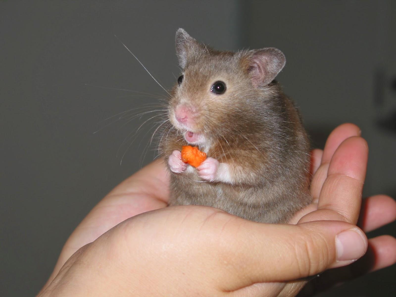 Cara Memelihara Merawat Hamster Bagi Pemula