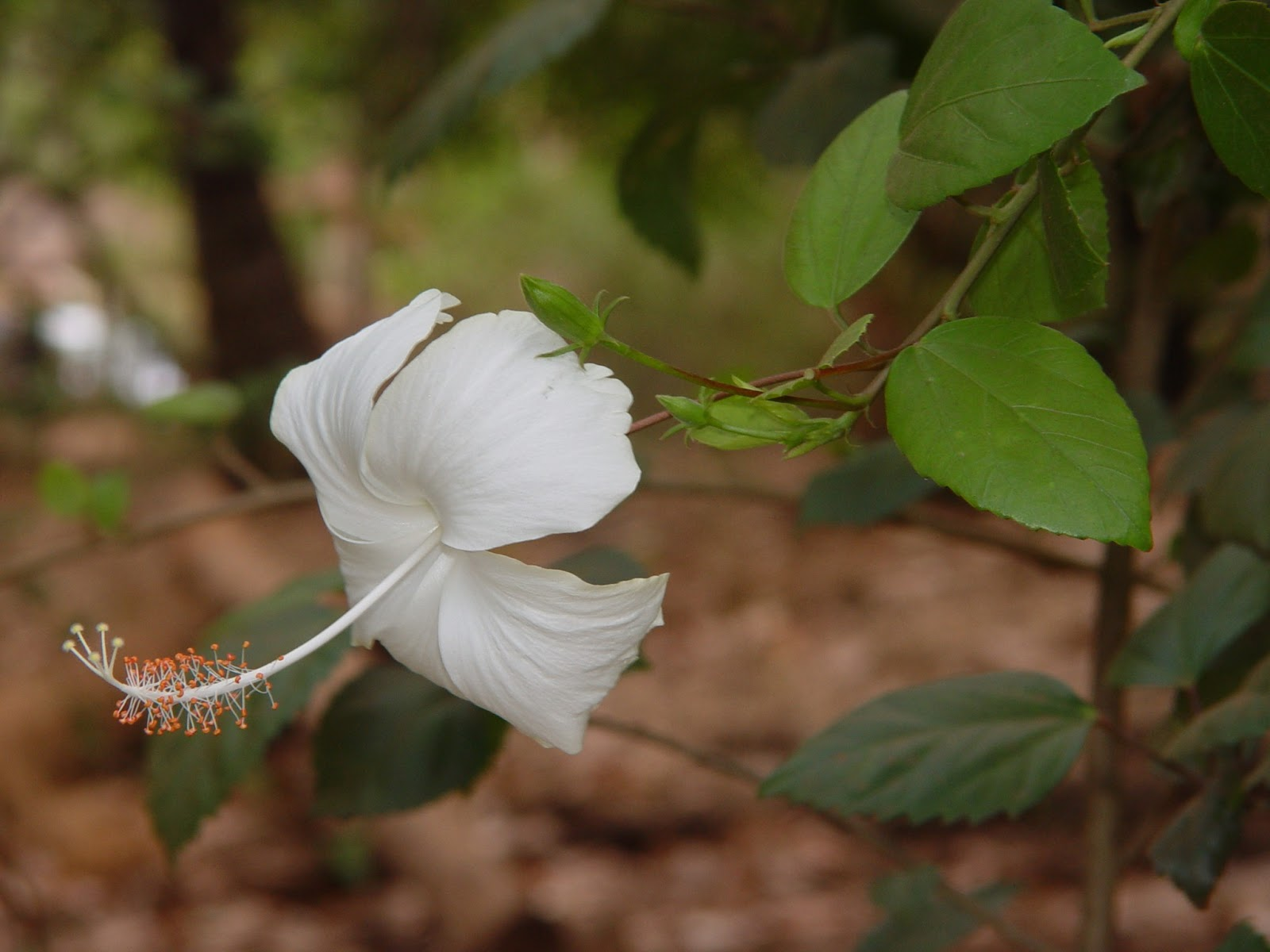 Farhaan wildlife photography hibiscus white hibiscus hibiscus hibiscus rosa sinensis a tropical flower belongs to the family malvaceae it gets its name from the greek words hibiscus meaning mallow and izmirmasajfo Image collections