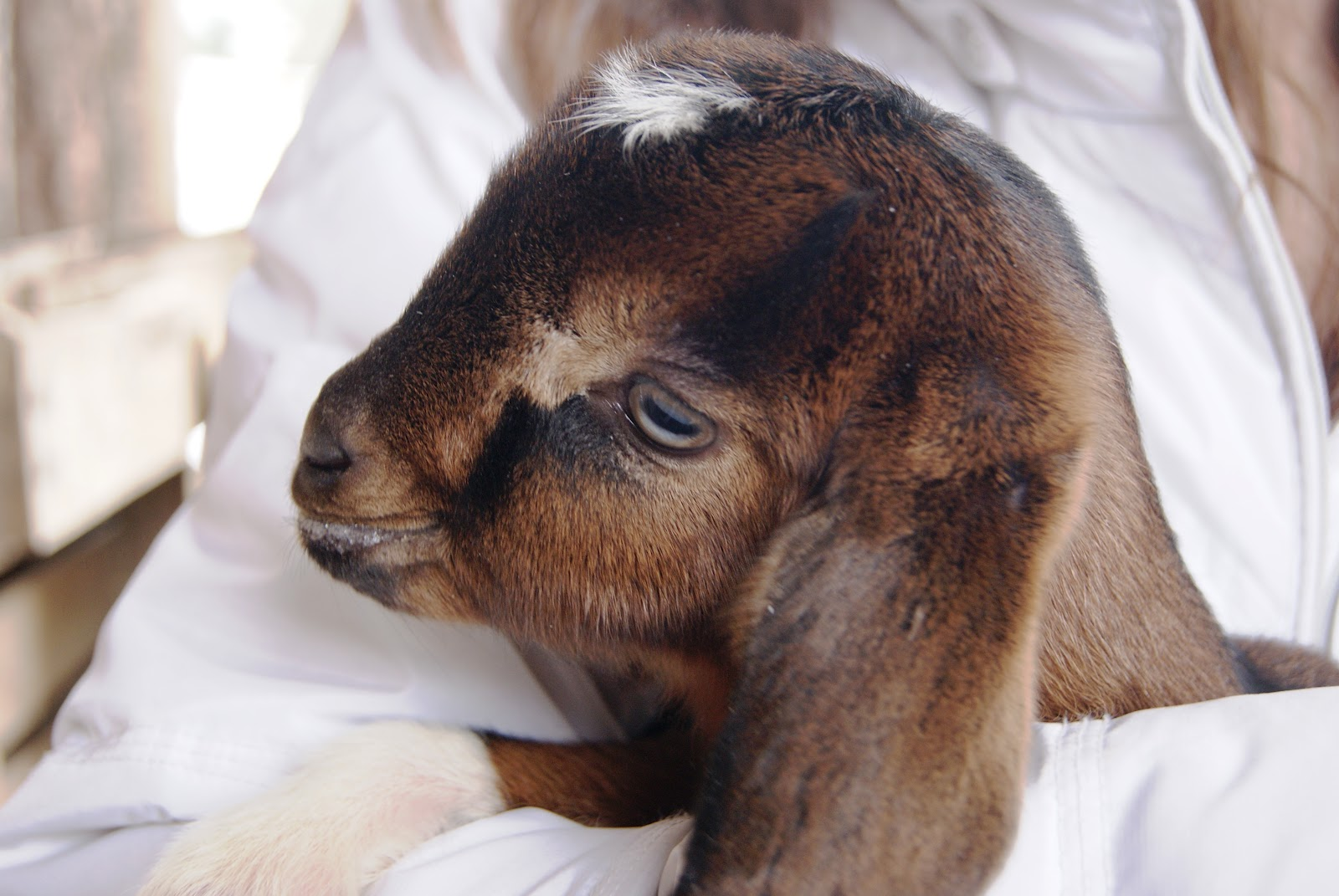 Baby Nubian Goats | www.imgkid.com - The Image Kid Has It!