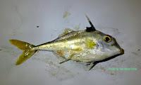 Silver Tripodfish