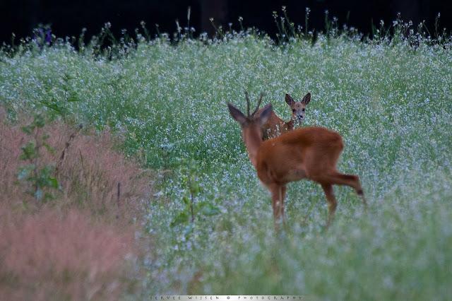 Reegeit en Reebok kijken nieuwsgierig naar Haas - Roe buck and doe curiously looking at Hare at Hare