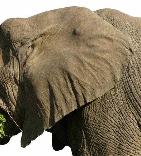 WHY DO ELEPHANTS HAVE BIG EARS?  The Garden of Eaden