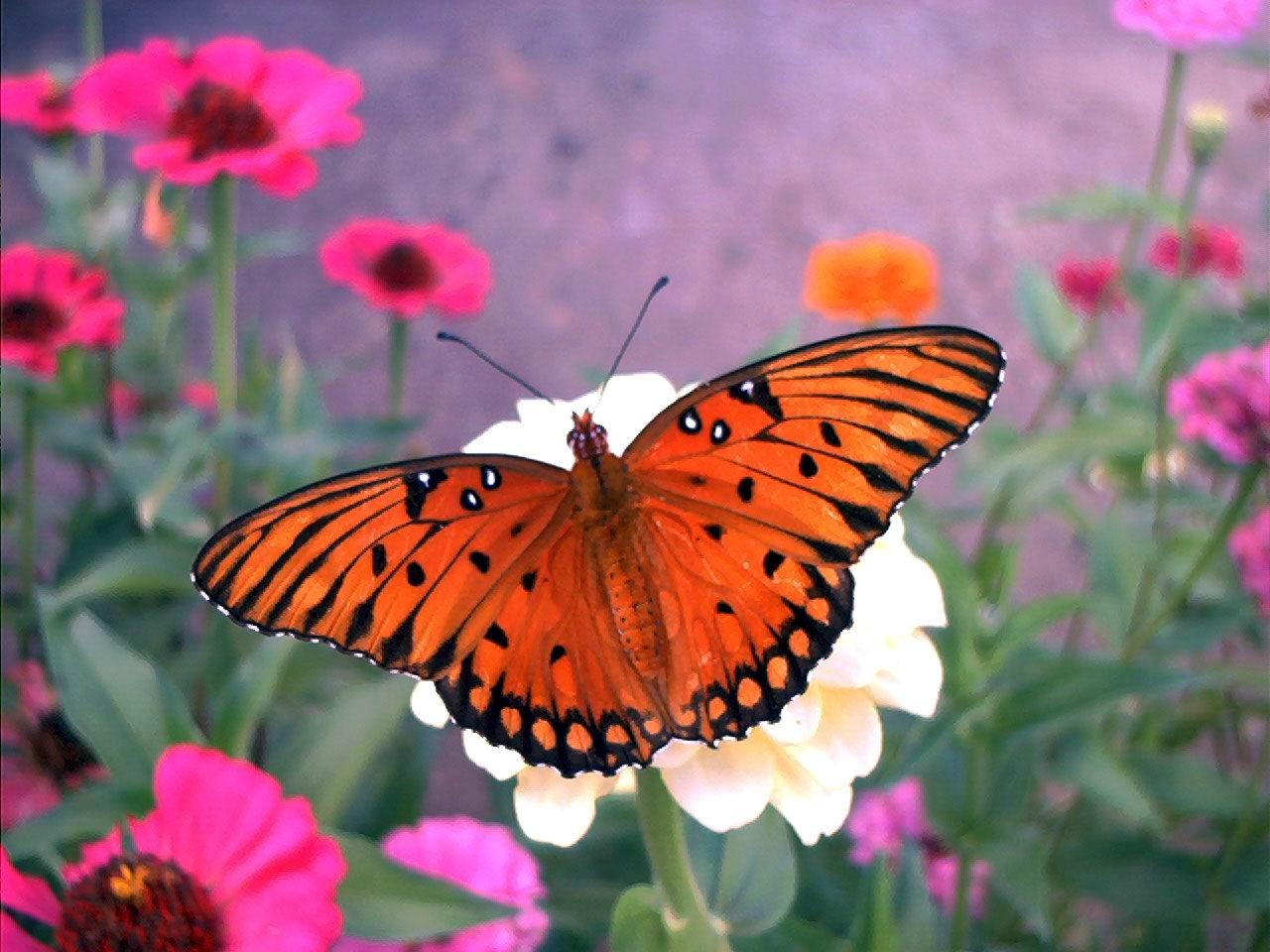 Bloomfield U2013 Butterfly Gardening Tips