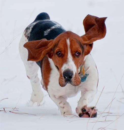 Go Back  gt  Gallery For  gt  Basset Hound Running GifBasset Hound Running