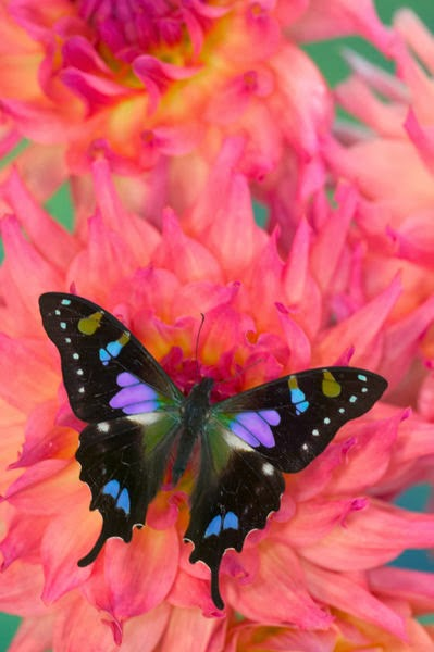Purple spotted swallowtail - photo#17