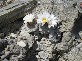 Strombocactus disciformis flowers