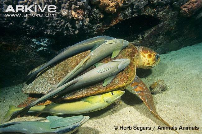 endangered turtle sea