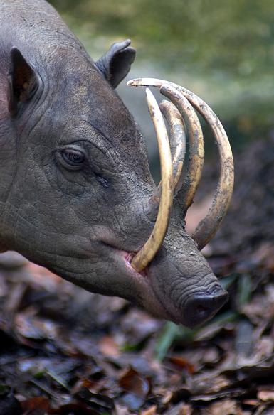 Animals You May Not Have Known Existed - The Babirusa