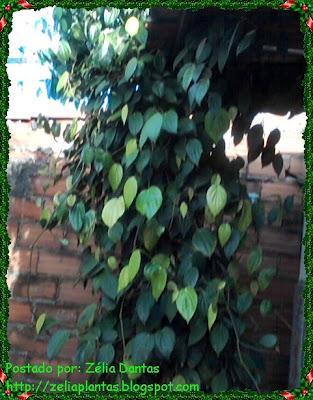 Planta trepadeira pimenta do reino