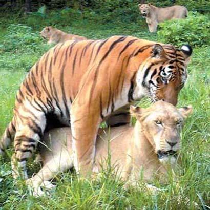 Tigon vs liger