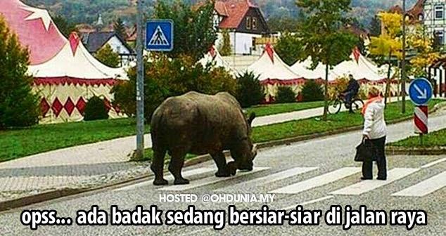 Opps… Ada Badak Dari Zoo Sedang Bersiar-siar Di Jalan Raya