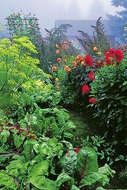 мангольд, огород, декоративное растение, дизайн, украшение огорода