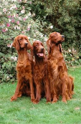 Mascotas color café de raza francesa en el jardín