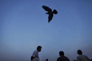 merpati terbang