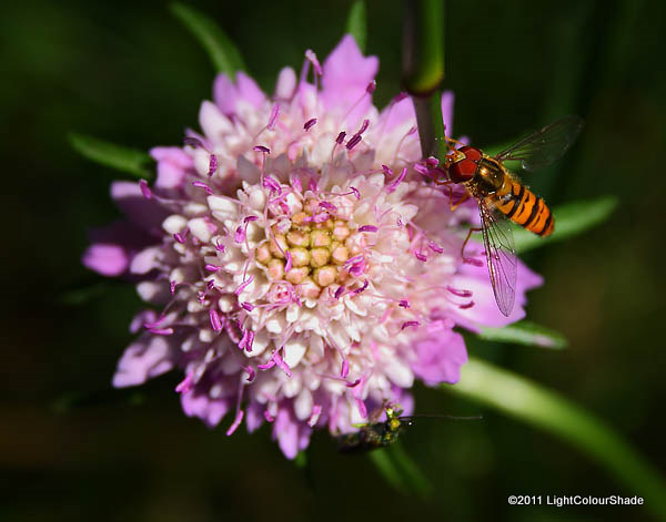 Male hoverfly on Field Scabious (Knautia arvensis)