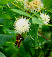 Silver-spotted Skipper on Buttonbush
