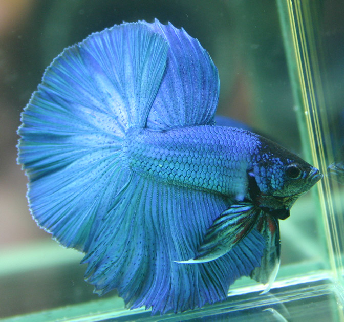 Betta fish pictures p b t for Betta fish game