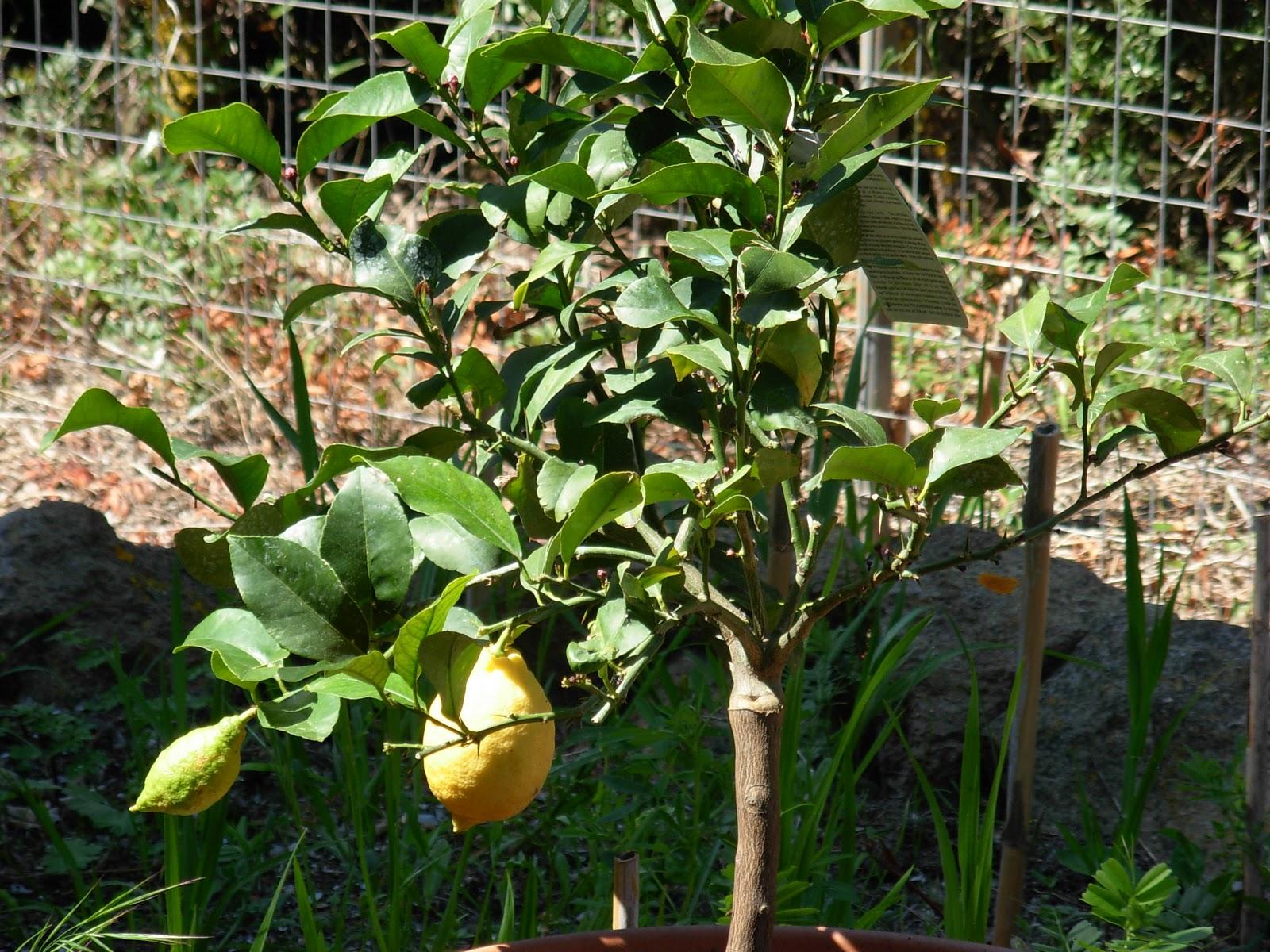 Calasetta house pianta di limone for Pianta di limone