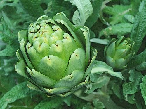 Dieta de la alcachofa, pros y contras