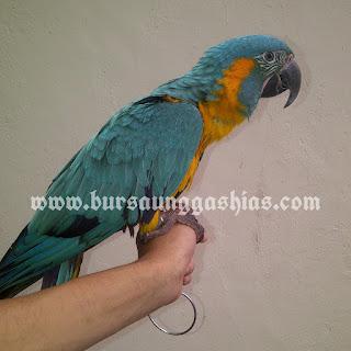 Jual blue throated macaw jinak