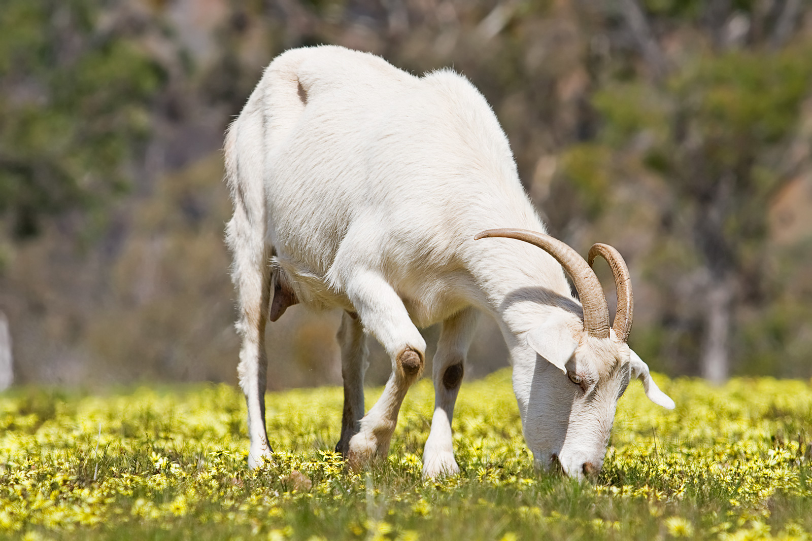 a goat Define goat: any of various hollow-horned ruminant mammals (especially of the genus capra) related to the sheep but of lighter — goat in a sentence.