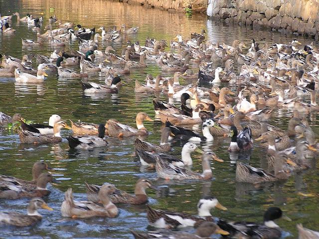 утки в каналах Кералы